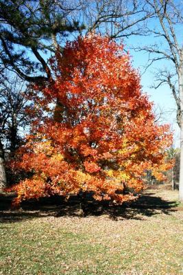 Acer barbatum (Florida Maple), habit, fall