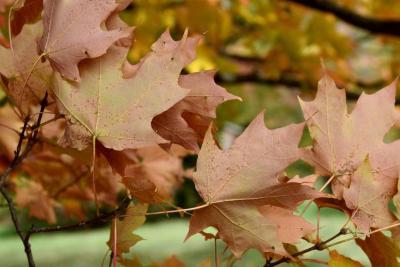 Acer saccharum 'Green Mountain' (Green Mountain Sugar Maple), leaf, lower surface