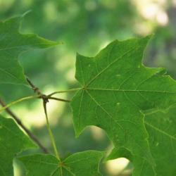 Acer saccharum 'Green Mountain' (Green Mountain Sugar Maple), leaf, upper surface