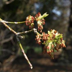 Acer negundo (Boxelder), inflorescence