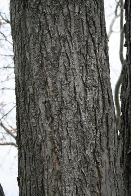 Acer rubrum (Red Maple), bark, mature