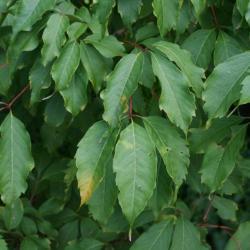 Acer cissifolium (Ivy-leaved Maple), leaf, upper surface