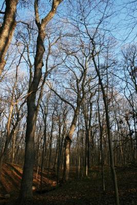 Acer saccharum (Sugar Maple), habitat