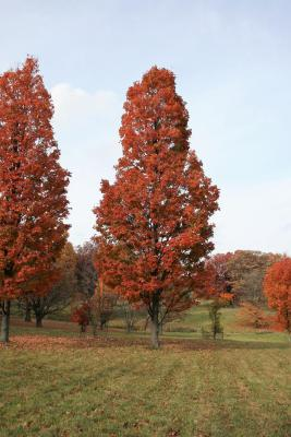 Acer saccharum 'Temple's Upright' (Temple's Upright Sugar Maple), habit, fall