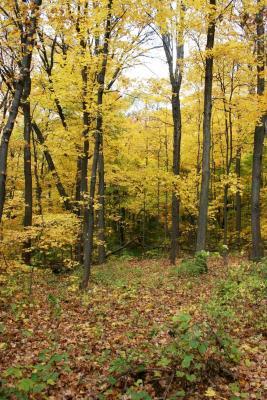Acer saccharum (Sugar Maple), habitat, fall
