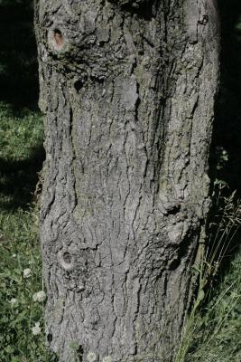 Acer saccharum 'Temple's Upright' (Temple's Upright Sugar Maple), bark, mature