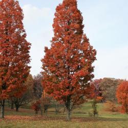 Acer saccharum 'Green Mountain' (Green Mountain Sugar Maple), leaf, fall