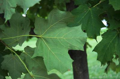 Acer saccharum 'Morton' (CRESCENDO™ Sugar Maple), leaf, lower surface