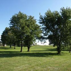 Acer saccharinum (Silver Maple), habit, summer