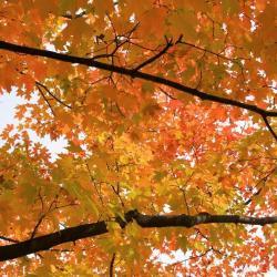 Acer saccharum (Sugar Maple), leaf, fall