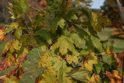 Acer barbatum (Florida Maple), leaf, fall