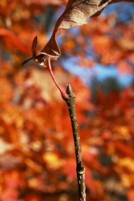 Acer barbatum (Florida Maple), bud, terminal