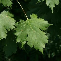Acer glabrum (Rocky Mountain Maple), leaf, upper surface