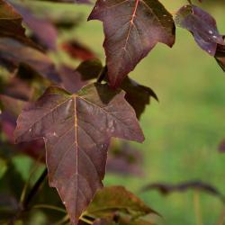 Acer sterculiaceum ssp. franchetii (Franchet's Maple), leaf, upper surface