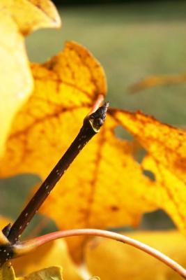 Acer saccharum (Sugar Maple), bud, terminal