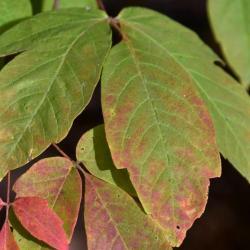 Acer triflorum (Three-flowered Maple), leaf, upper surface