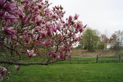 Magnolia 'Ann' (Ann Magnolia), inflorescence