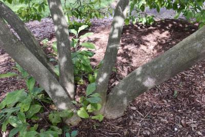 Magnolia 'Betty' (Betty Magnolia), bark, trunk