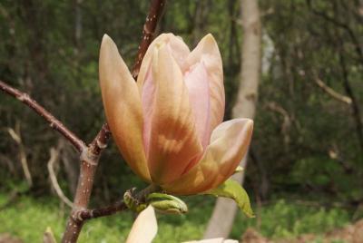 Magnolia 'Apricot Brandy' (Apricot Brandy Magnolia), flower, side