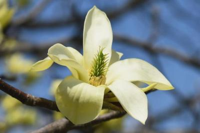 Magnolia 'Butterflies' PP7456 (Butterflies Magnolia), flower, full