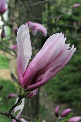 Magnolia 'Betty' (Betty Magnolia), flower, side