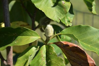 Magnolia 'Blushing Belle' (Blushing Belle Magnolia), bud, terminal