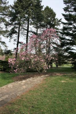 Magnolia 'Betty' (Betty Magnolia), habit, spring