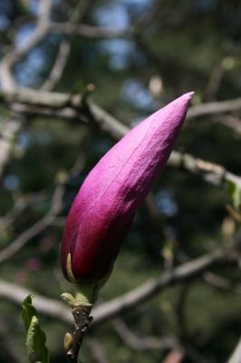 Magnolia 'Betty' (Betty Magnolia), bud, flower