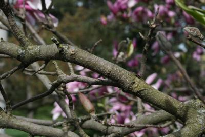 Magnolia 'Betty' (Betty Magnolia), bark, branch