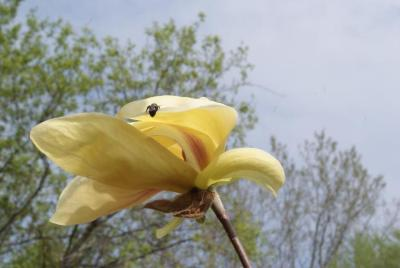 Magnolia 'Banana Split' (Banana Split Magnolia), flower, side