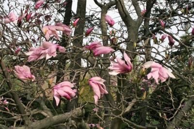Magnolia 'Betty' (Betty Magnolia), flower, full