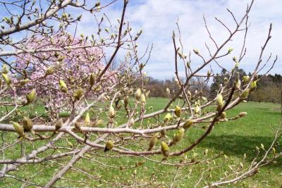 Magnolia 'Butterflies' (Butterflies Magnolia), bud, flower