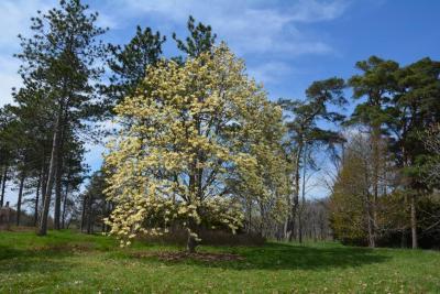 Magnolia 'Elizabeth' (Elizabeth Magnolia), habit, spring