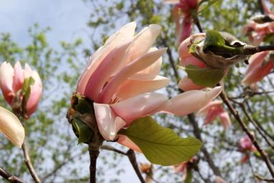 Magnolia 'Coral Reef' (Coral Reef Magnolia), flower, side