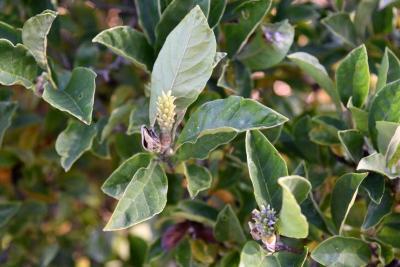 Magnolia 'George Henry Kern' PP820 (George Henry Kern Magnolia), fruit, immature