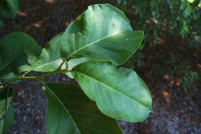 Magnolia 'Coral Lake' (Coral Lake Magnolia), leaf, upper surface