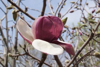 Magnolia 'Charming Lady' (Charming Lady Magnolia), flower, side
