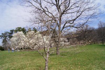 Magnolia 'Butterflies' (Butterflies Magnolia), habit, spring