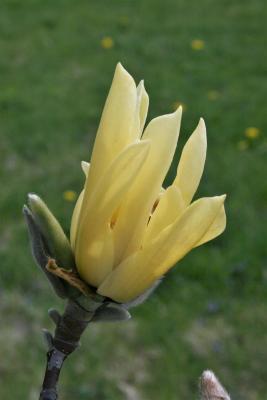 Magnolia 'Butterflies' (Butterflies Magnolia), flower, side