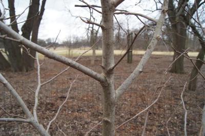 Magnolia 'Coral Lake' (Coral Lake Magnolia), bark, branch