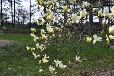 Magnolia 'Elizabeth' (Elizabeth Magnolia), inflorescence