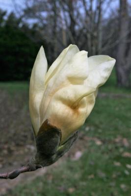 Magnolia 'Elizabeth' (Elizabeth Magnolia), flower, side