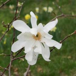 Magnolia 'Elegant Spring' (Elegant Spring Magnolia), flower, full