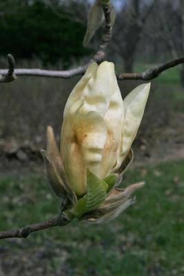Magnolia 'Elizabeth' (Elizabeth Magnolia), bud, flower