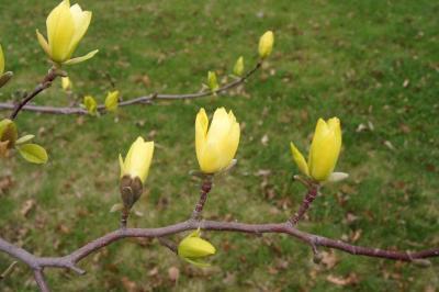 Magnolia 'Butterflies' (Butterflies Magnolia), inflorescence