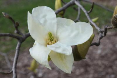 Magnolia 'Elizabeth' (Elizabeth Magnolia), flower, full