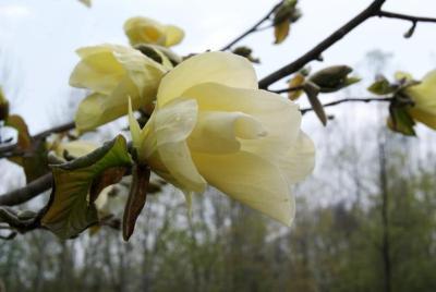 Magnolia 'Golden Rain' (Golden Rain Magnolia), flower, side