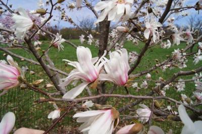 Magnolia 'Iufer' (Iufer Magnolia), inflorescence