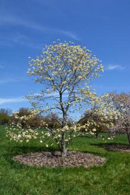 Magnolia 'Gold Star' (Gold Star Magnolia), habit, spring