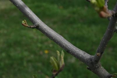 Magnolia 'Marillyn' (Marillyn Magnolia), bark, branch